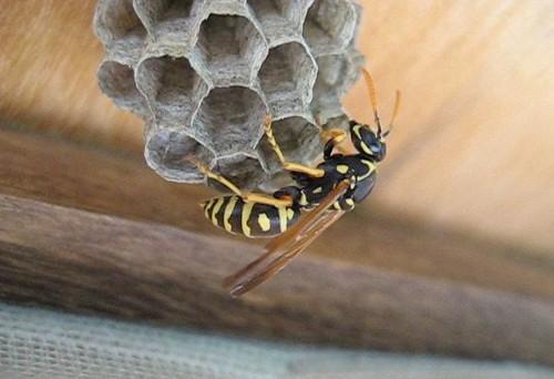 Come eliminare api e vespe in maniera naturale