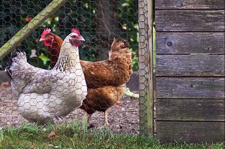 Come organizzare un piccolo pollaio in giardino