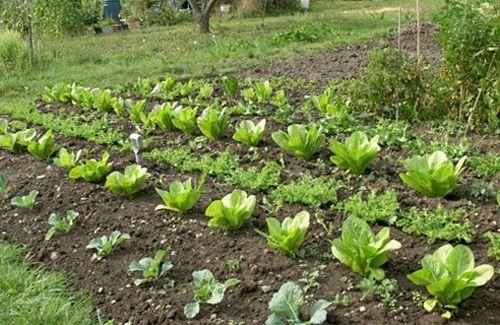 Come scegliere le piante invernali per l orto soluzioni di casa
