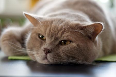 dove acquistare un gatto di razza