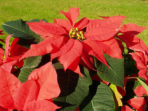 stella di Natale velenosa