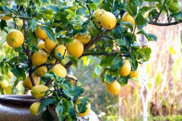 coltivare i limoni in vaso