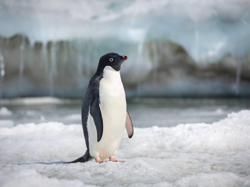 Steve in Disneynature's Penguins.