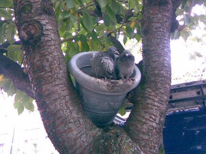 fleurs-de-pigeon-3.jpg