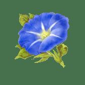 Angela Silver Linings Morning Glory Flower