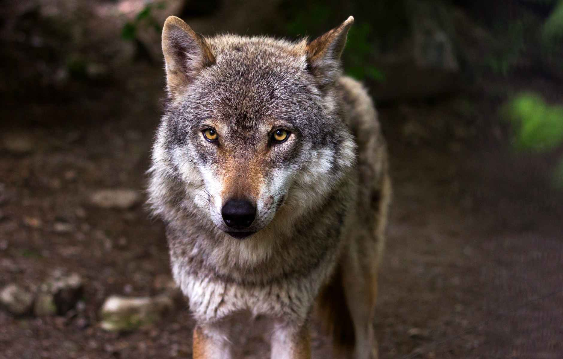 gray and white wolf
