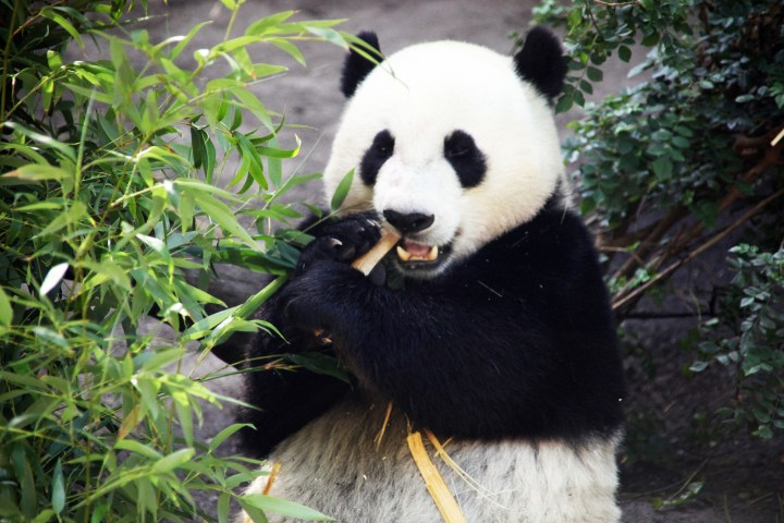 Although their main source of diet, pandas are not good at digesting bamboos, driving them to conserve as much energy as they can. Photo credit: Tim Evanson on Flickr