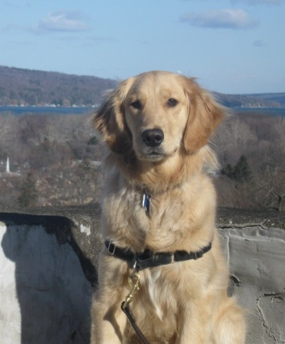 Golden Retriever with Cayuga Lake in the Distance