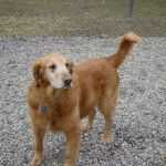 Wordless (almost) Wednesday: Meet Adoptable Golden Retriever Ezra