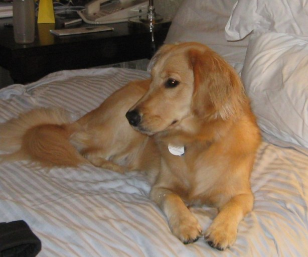 Honey the Golden Retriever relaxing on bed.