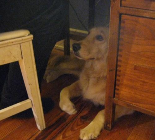 Golden Retriever lying under the desk