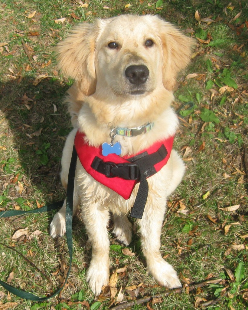Golden Retriever puppy in life jacket