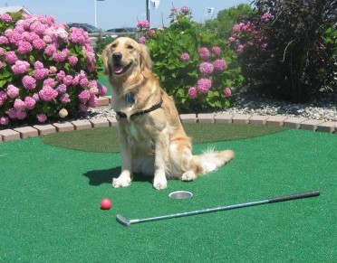 Golden Retriever playing mini golf