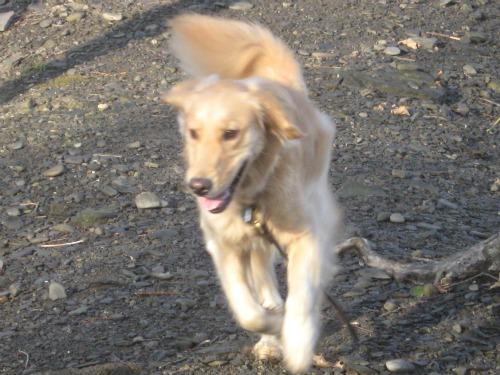 Honey, the Golden Retriever, comes running back on her walk.