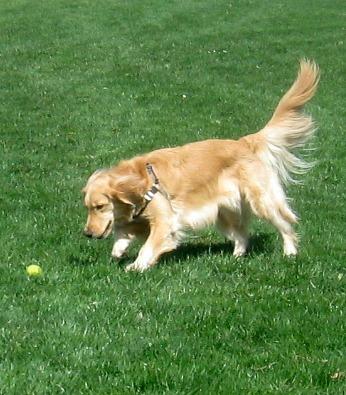 Honey the Golden Retriever finds her ball.