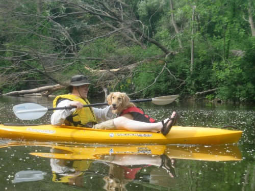 Honey the Golden Retriever is a dog in a kayak.