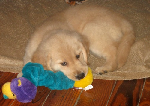 Honey the Golden Retriever puppy naps under the desk.