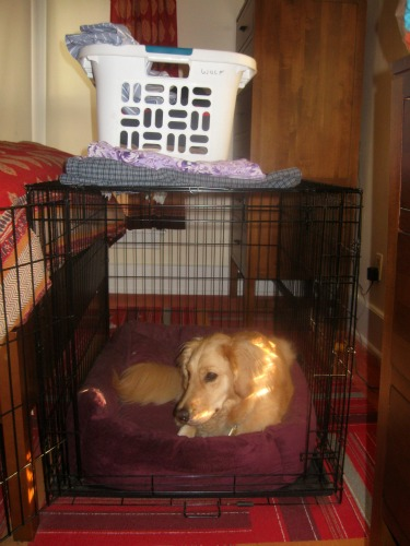 Honey the Golden Retriever lies in her crate.