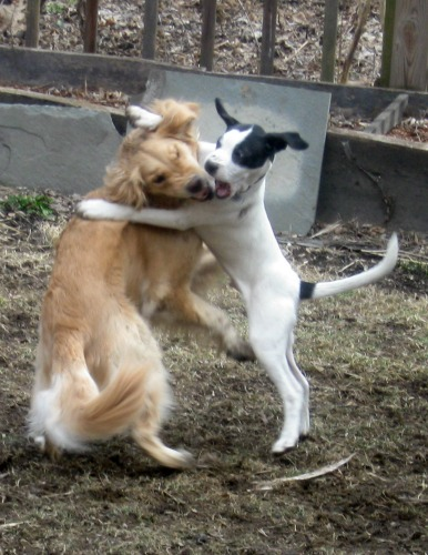 Honey the Golden Retriever and Bandit the foster puppy play bitey face.