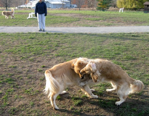 Two golden retrievers wrestling in the dog park with shark like teeth.