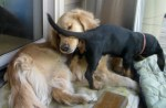 Honey the golden retrievers makes allowances for a foster puppy.