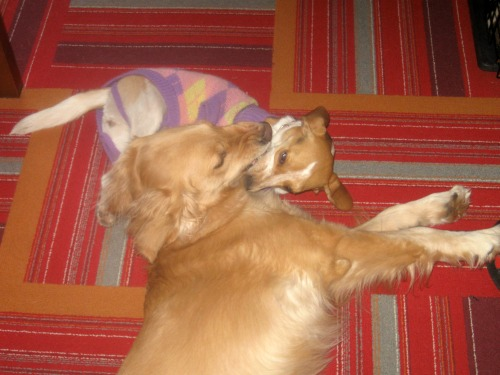 Honey the golden retriever wrestles with the foster dog, Ginny the beagle.