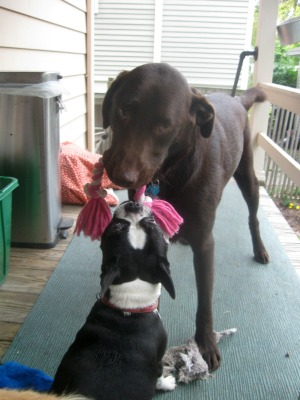 Mr. Handsome the chocolate lab plays with Lil Punkin Butt the Boston terrier.