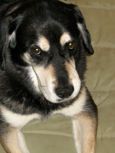 Shadow was a beautiful mutt.