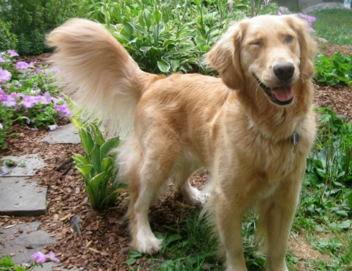 Honey the golden retriever winks.