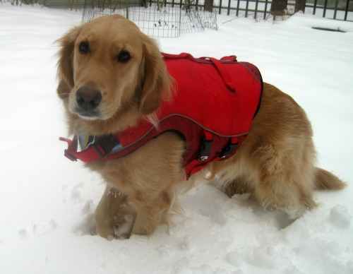 Honey the golden retriever models her Kurgo life jacket.