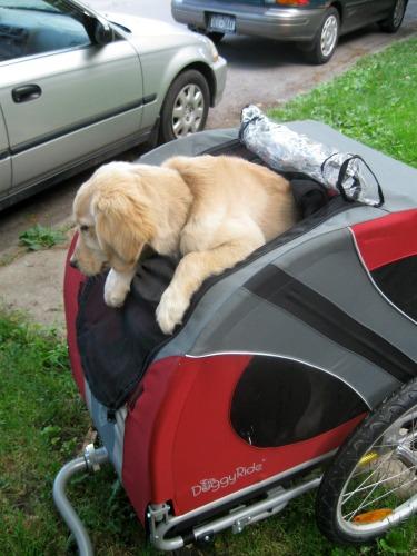Honey the golden retriever puppy rides her bike cart to work.