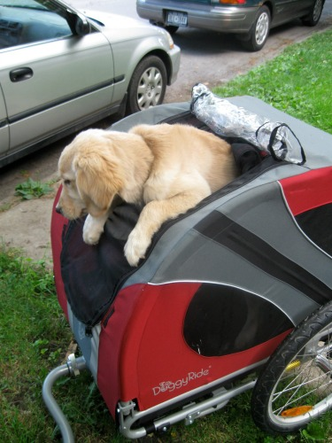 Honey the golden retriever puppy rides her bike cart to work.