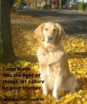 Golden retriever sits in the autumn light.