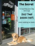 Honey the golden retriever's secrets for keeping your dog from reacting on leash.
