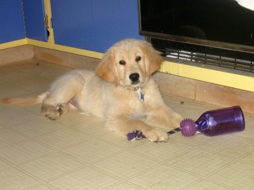 Honey the golden retriever as a puppy with her food toy.