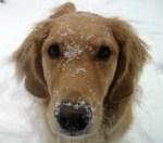 Honey the golden retriever has snow on her face.