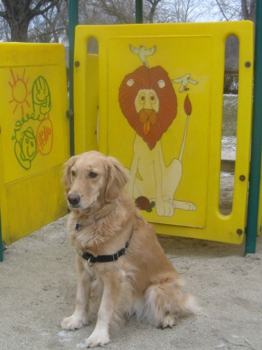 Honey the golden retriever sits in front of a lion.
