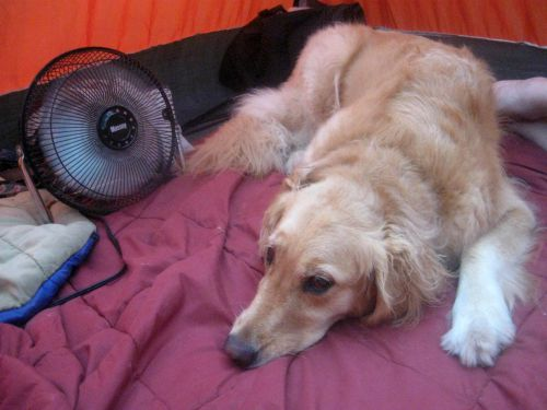 Honey the golden retriever lies in a tent with a fan.