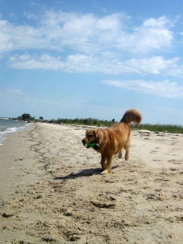 Honey the golden retriever carries her toy on the beach.