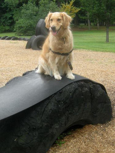 Honey the golden retriever on a tire.