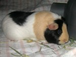 Olive the guinea pig eating hay.