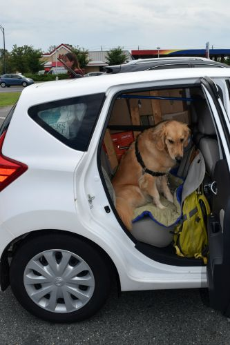 Honey the golden retriever in rental car with all our stuff.