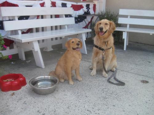 Honey the golden retriever with friend.