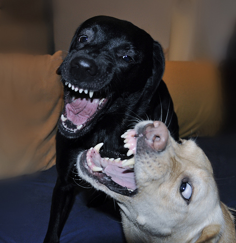 Two dogs play bitey face.