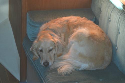 Honey the golden retriever dozes in the sailboat cabin.