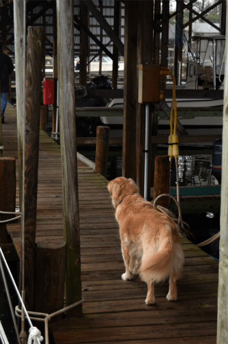 Honey the golden retriever walks down the dock.