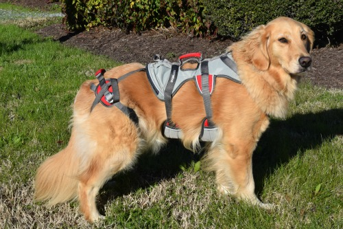 Honey the golden retriever models her RuffWear double back harness.
