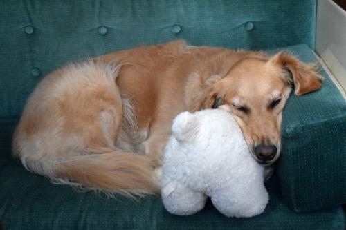 Honey the golden retriever sleeps with bear in the cabin.
