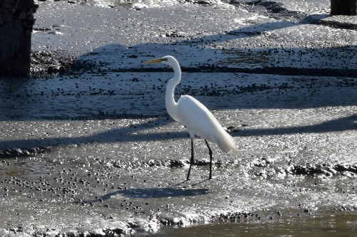 Egret at Lady's Island Marina.