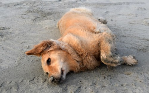Honey the golden retriever rolls in the sand on the beach.